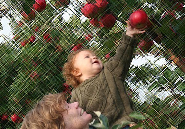 Cueillette de pommes au Québec